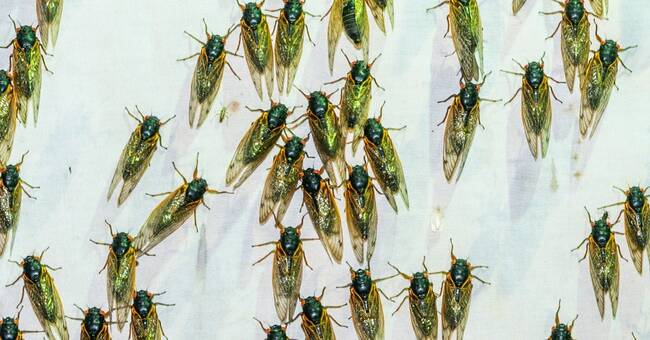The Cicadas Are Coming. Let's Eat Them!
