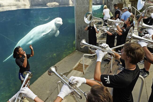 Mystic Aquarium getting 5 Beluga whales from Canada