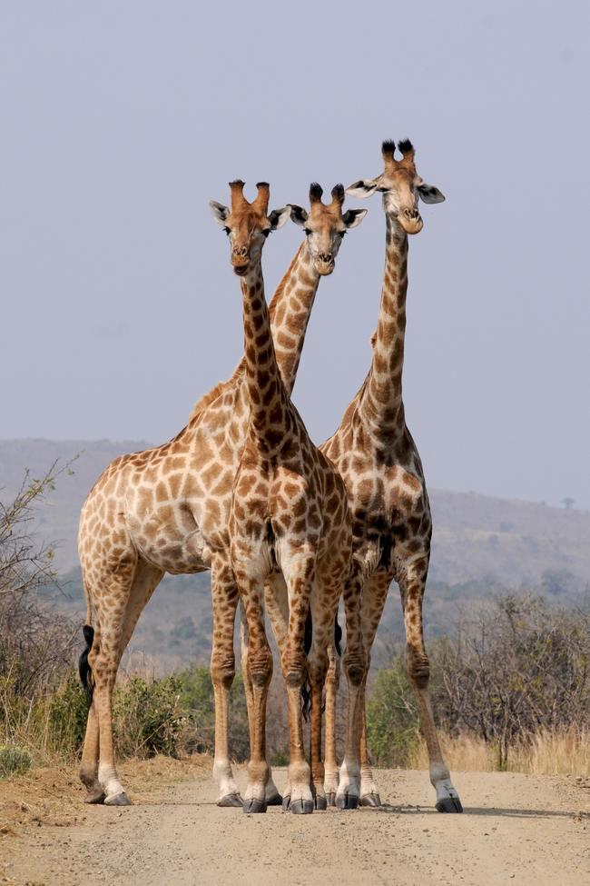 Three Giraffe Under Gray Sky