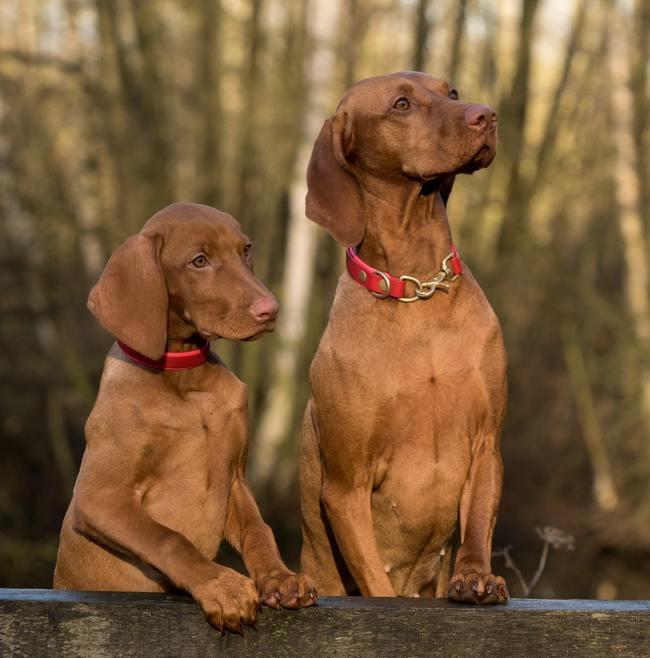 2 Vizsla Dogs Standing on Brown Wood Plank