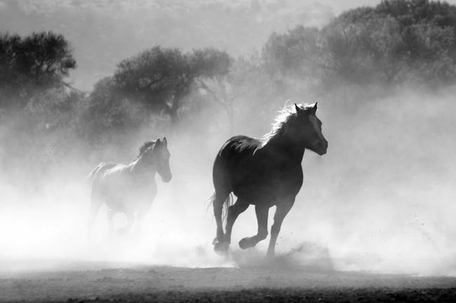 Brown and White Stallions Running in a Field