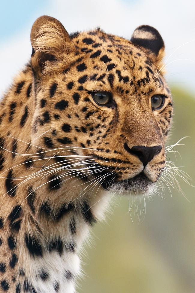 Brown and Black Leopard Animal
