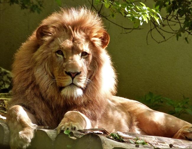 Close-up Portrait of Lion