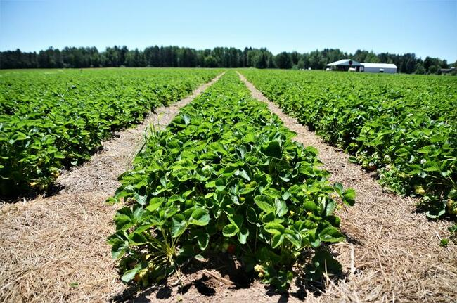 Strawberry Harvest Shaping Up Great Despite Unusual Spring Weather