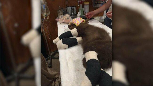 Bear cub burned in wildfire heals at California center