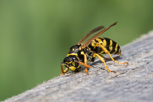 When do wasps die and when is the UK's usual wasp season?
