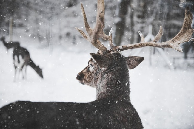 Photo of Reindeer in the Snow
