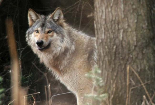 Judge issues injunction blocking Wisconsin fall wolf hunt