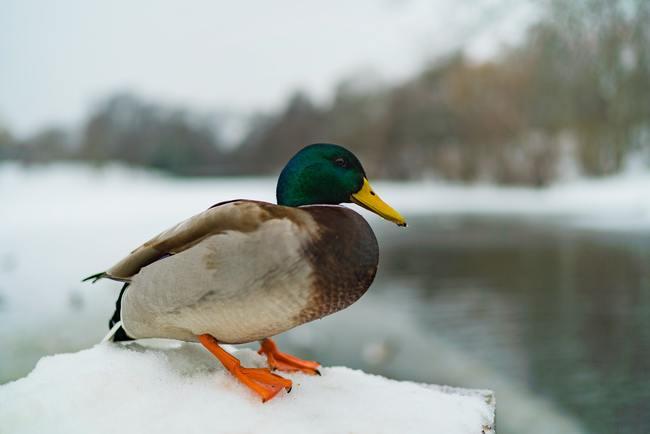 Wintry Duck