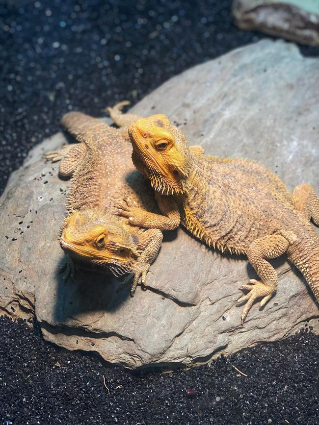 Lizard Duo