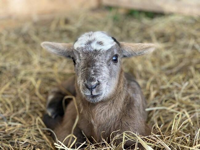 OTC Sheep Give Birth To Three Lambs
